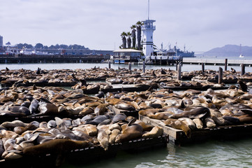 Sea Lions at Fisherman's Wharf, San Francisco, USA