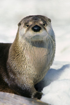 Adult river otter (Lontra canadensis) playing in the snow beside a winter stream, northern Manitoba, Canada