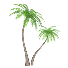 Two coconut palm trees (Cocos nucifera) isolated on white background. 3D illustration.