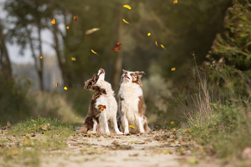 Border Collies im Herbst