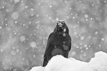 Commom Raven (Corvus corax)  in snow, Jasper National Park, ALberta, Canada