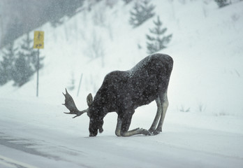 Moose (Alces alces) Male.  moose are often drawn to roadways, to lick salt that is used to melt snow and ice, Algonquin Provincial Park, Ontario, Canada