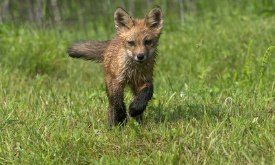 red fox, Vulpes vulpes, kits/young running in green grass.