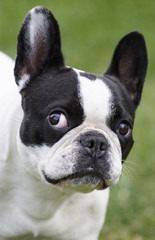 French bulldog black and white color