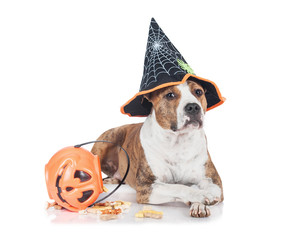 Funny dog dressed in a hat sitting near a halloween pumpkin full of treats