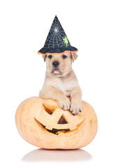 Little puppy dressed in a hat sitting in a halloween pumpkin