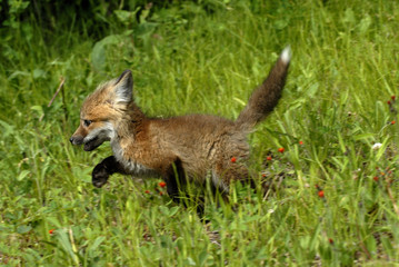 Red Fox (Vulpes vulpes) kit trotting through grassy field, Minnesota, USA