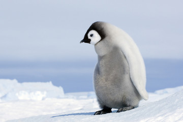 Emperor penguin chick on snow, Snow Hill Island, Antarctica