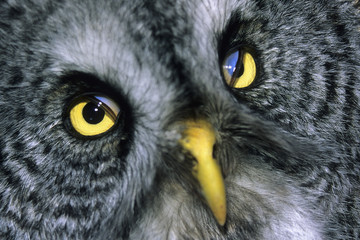 Nictitating membranes visible in a great gray owl (Strix nebulosa), northern Alberta, Canada