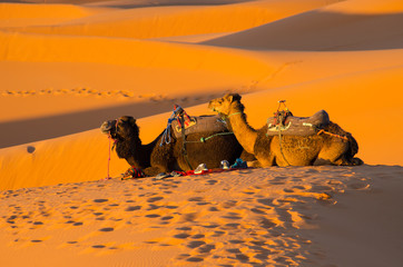 Resting camels in Sahara desert