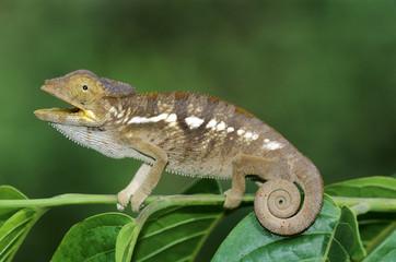 Panther chameleon (Furcifer pardalis), Madagascar