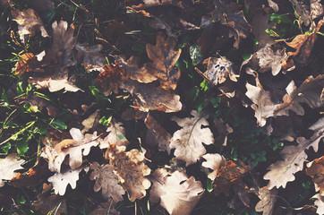 Dried oak leaves fall background