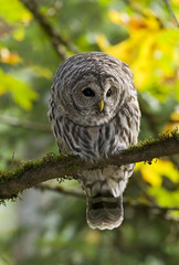 Barred owl, Vancouver Island, British Columbia, Canada.