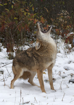 Coyote (Canis latrans), howling, Superior National Forest, MN, USA