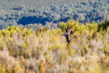 Ciervo macho con cornamenta entre la vegetación. Cervus elaphus. Berrea del Ciervo en La Sierra de la Cabrera, León.