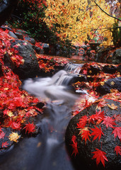 Beacon Hill Park, Japanese Maples in Autumn with creek, Victoria, Vancouver Island, British Columbia, Canada.