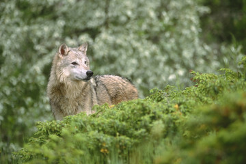 Wolf (Canis lupus) in Montana, USA.