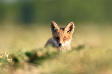 red fox kit in summer. red fox puppy in summer. red fox baby in summer.