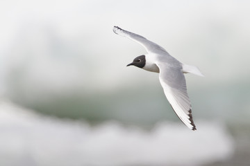 Bonaparte's Gull (Larus philadelphia) flying in Churchill, Manitoba, Canada.