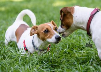 Dog demonstrating teeth and fangs as warning sign