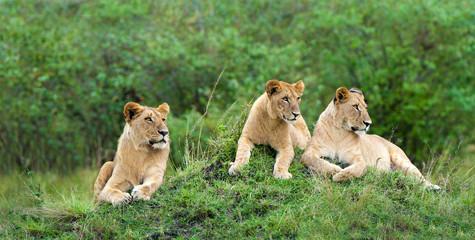 African lion pride (Panthera leo), resting on a termite mound, Masai Mara Game Reserve, Kenya, East Africa