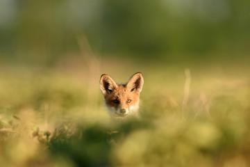 Red fox kit. Red fox puppy. Juvenile red fox. Red fox pup. Little fox.