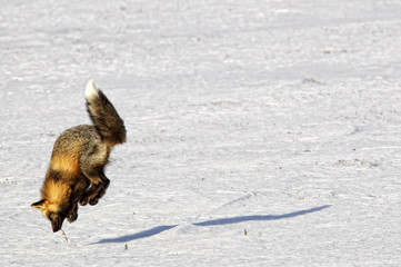 Fox (Vulpes vulpes)  leaping into the air as it is hunting rodents, Yukon Territory, Canada.