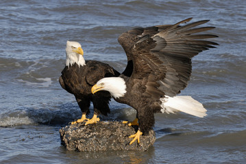 Mature Bald Eagles (Haliaeetus leucocephalus) on shoreline, Homer, Alaska, USA