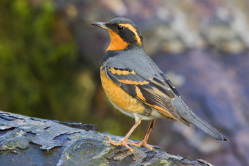 Varied Thrush (Ixoreus naevius) perched on a branch in Victoria, Vancouver Island, British Columbia, Canada