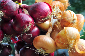 Onion harvest, red bulbs crop