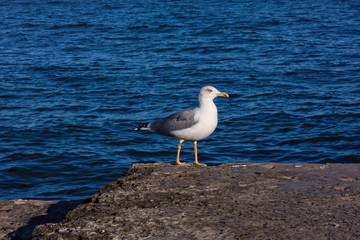 Walking seagull on shore