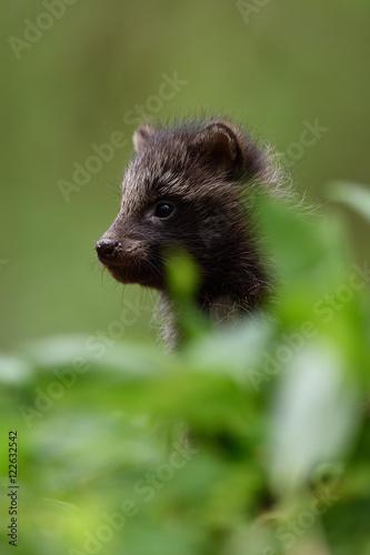Baby raccoon dog