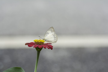 White Butterfly sucking nectar from pink flowers .