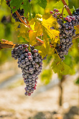 Wall Mural - Bunch of Nebbiolo grapes in the vineyard ready for the harvest