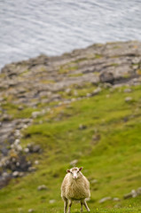 Sheep ram in iceland