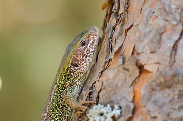 Lizard on a pine tree trunk