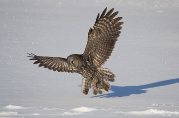 Great grey owl hunting over a snow covered field