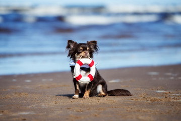 chihuahua dog holding a life buoy on a beach