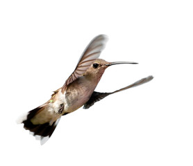 Ruby-throated Hummingbird hovering, looking at the viewer; isolated on white