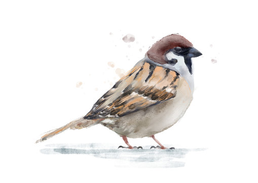 Watercolor sparrow bird isolated on white hand painted zoological illustration