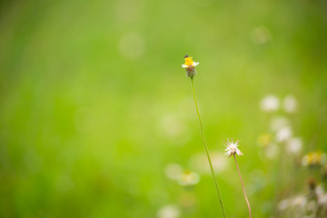 Buttonweed flower with green blur background