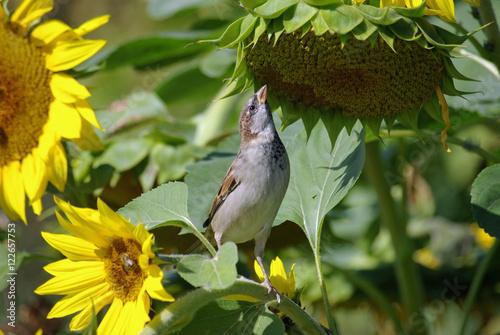 Moineau cherchant des graines de tournesol jardin des for Jardin 4 moineaux