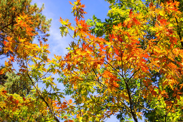 The beautiful autumn tree on a background of blue sky