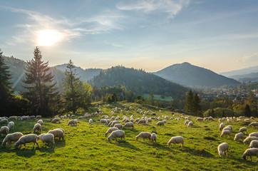 Wypas owiec w Pieninach -Jaworki