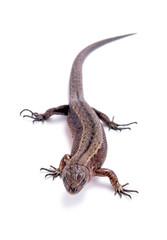 Lizard on white
