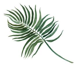 tropical Areca palm leaf plant botanic watercolor painting on white background