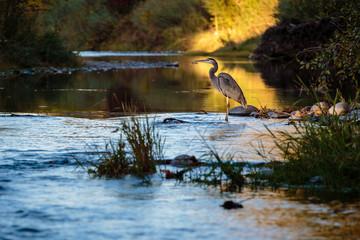 Blue heron in lake