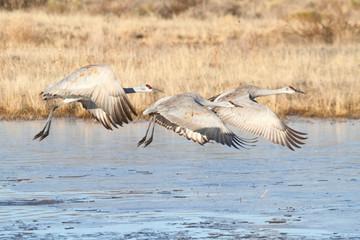 Fototapete - Sandhill Crane  (Grus canadensis)