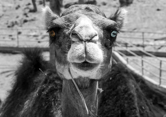 Black and white portrait of a dromedary living in captivity with different coloured eyes, the right one is brown the left one is blue.