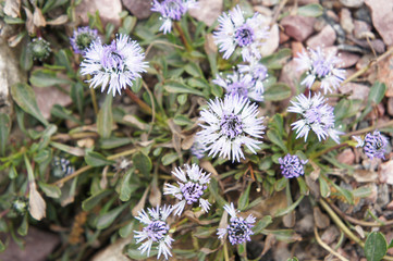 Globularia repens blue flower